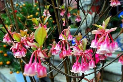 Du lịch đầu xuân ngắm hoa đào chuông trên đỉnh Bà Nà
