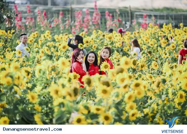 Giới trẻ mãi mê ngắm vườn hoa hướng dương Đà Nẵng