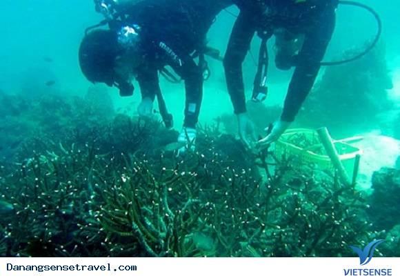 Xuống biển trồng lại san hô tại đảo Cù Lao Chàm